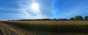 cornfield by IndependentlyConceal