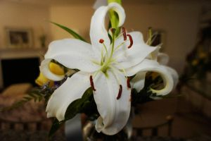 Simple White Lily by LDFranklin