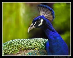 peacock 2 by escrimador