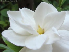 Gardenia Bloom by marva78