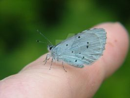 Holly Blue SJ496853 2013 05 27 On Finger by Calilasseia