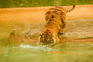 88 Tiger getting the fish by Chunga-Stock