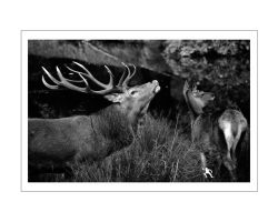 Red Deer Stag I by kilted1ecosse