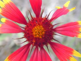 Red and Yellow Wildflower by TheGerm84