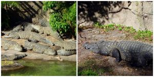 Count the Nile Crocodile by AllyCat1994