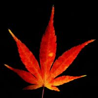 red maple leaf by augenweide