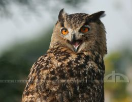 The Laughing Owl by thrumyeye