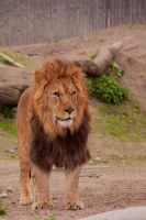 Lion at CPH Zoo by Takadk