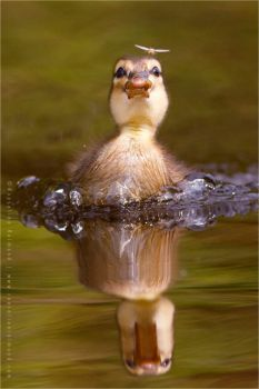 Baby Duck on the Hunt by thrumyeye