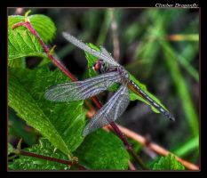 Climber Dragonfly HDR by boron
