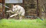 Wolfdogs Can Fly... Sideways. by Czertice
