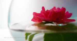 Reflections of a Rose by Jacia