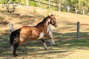 VR Pinto cantering away behind side view by Chunga-Stock