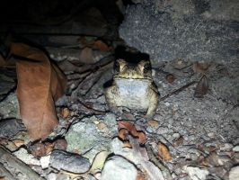 Toad 30Oct2014 by RiverKpocc