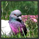 NYC Pigeon by Vamppy