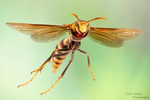 Paper wasp in flight (Polistes major) by ColinHuttonPhoto