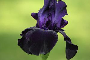 Iris Afternoon 5 by Dellessanna