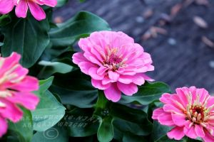 Pink Zinnias by sparkly-purple-ninja