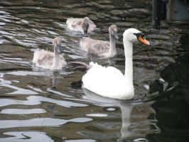 Animals 096 swan with young by Dreamcatcher-stock