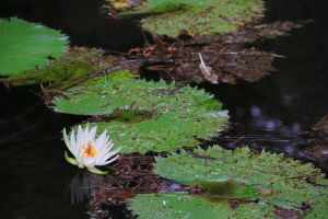 The Beauty of the Water Lily by lordmaky01