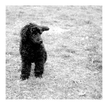 Poodle by Just-Cara