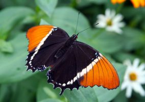Orange and Black Halloween Butterfly by PanisEtCircense