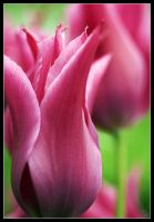 Tulips by Insignificant-Other