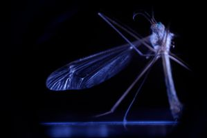 mosquito by ndrj