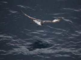 Cape Petrel by phoeteli