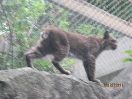 bobcat by BabyImMeee