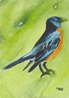 Robin by pixieled