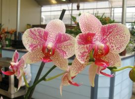 Orchids by GreenEyezz-stock