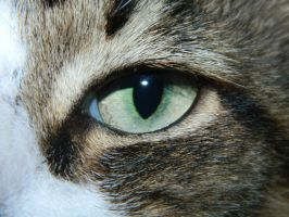 Eye of the tiger (or should I say our fat tom :P ) by thedoomedkitteh