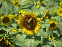 Sunflower 05 by Party-Hat-Cat