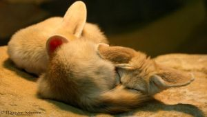 Fennec Foxes sleeping by MorganeS-Photographe