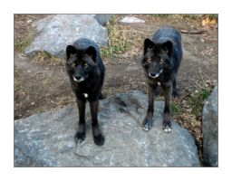 two black wolves. by kaeisace