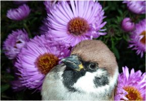 Eurasian tree sparrow. by only-Freak-by-nature