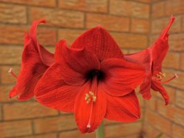 Red Year Five Flower by WestLothian