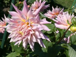 Large light pink flowers by SeeOrSeem