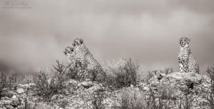 Three Cheetah Teens by LinRuPhotography