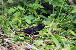Little blackbird by Missmith91