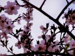 cherry tree by andr33aa