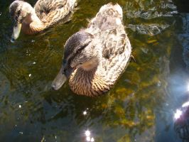 I'm duck and broud of it by Lohku