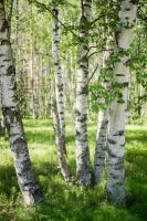 Birches by jjuuhhaa