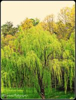 Weeping Willow by EuphoricPhotographs