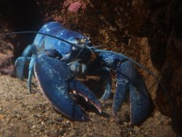 Blue Lobster by X-x-Magpie-x-X