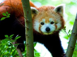Red Panda lll by deseonocturno