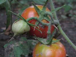 Two Tomatoes and their Unripe Counterpart by Toderico