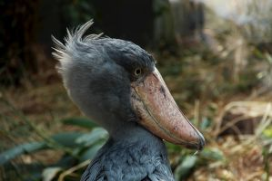 Shoebill by GloaH