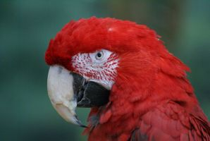 Macaw 009 by MonsterBrand-stock